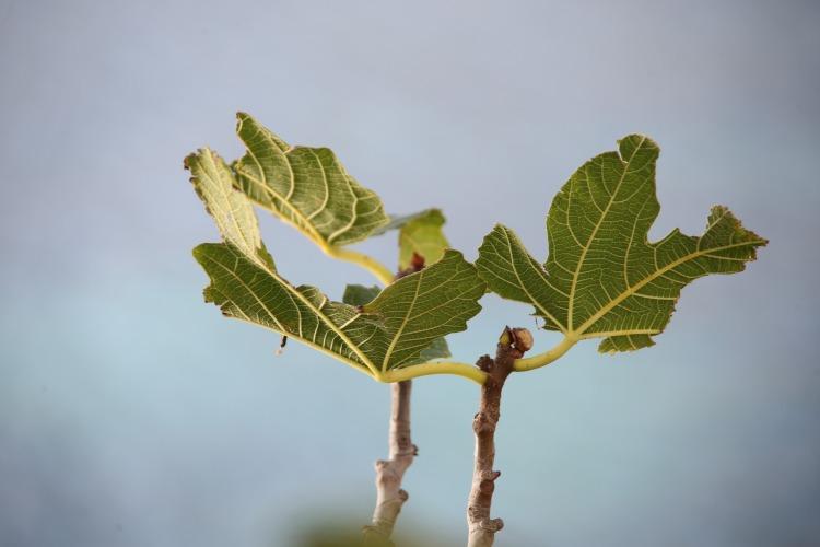 fig-tree-1797084_1920